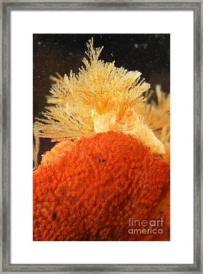 Bowerbanks Halichondria & Spiral-tufted Framed Print by Ted Kinsman