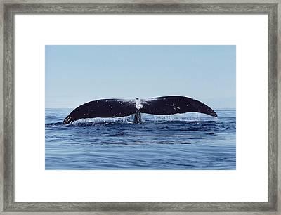 Bowhead Whale Off Baffin Island Canada Framed Print