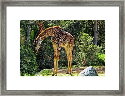 Bowing Giraffe Framed Print by Mariola Bitner