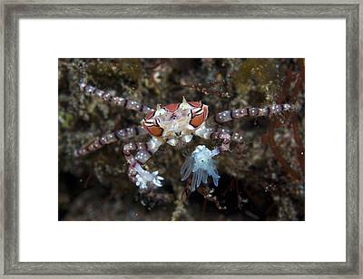 Boxer Crab Framed Print by Matthew Oldfield