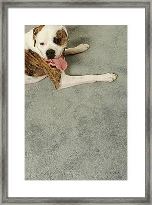 Boxer Dog Lying On Carpet, Overhead View Framed Print by Dtp