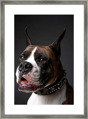 Boxer Dog With Ears Pricked, Close-up Framed Print by Chris Amaral