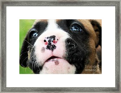 Boxer Puppy Face Framed Print