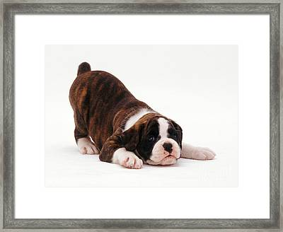 Boxer Puppy Framed Print by Jane Burton