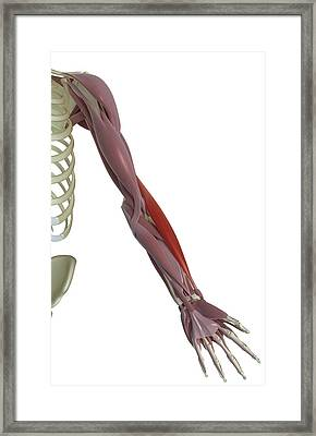 Brachioradialis Framed Print by MedicalRF.com