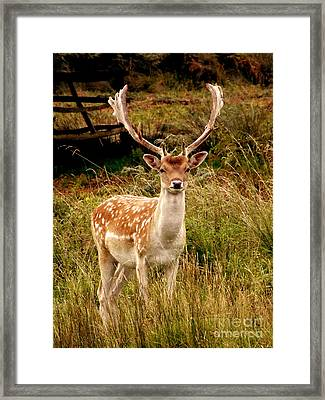 Wildlife Fallow Deer Stag Framed Print by Linsey Williams