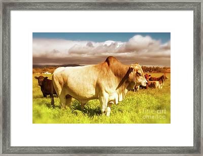 Brahma Bull And Harem Framed Print