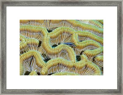 Brain Coral Framed Print by Robin Wilson Photography