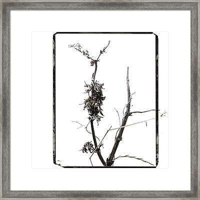 Branch Of Dried Out Flowers. Framed Print
