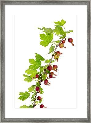 Branch Of Prickly Gooseberry Framed Print by Aleksandr Volkov