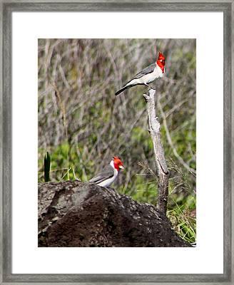 Brazillian Cardinals Framed Print by Elizabeth  Doran
