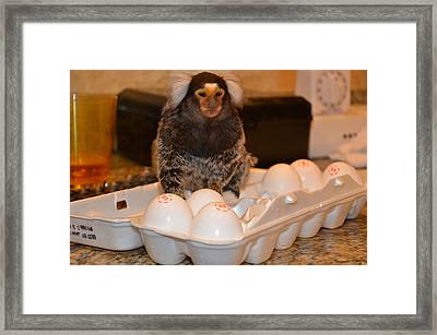 Breakfast Chewy The Marmoset Framed Print by Barry R Jones Jr