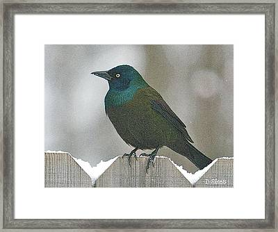 Brewer's Blackbird Framed Print by Debbie Sikes