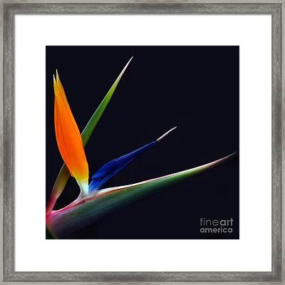 Bright Bird Of Paradise Square Frame Framed Print