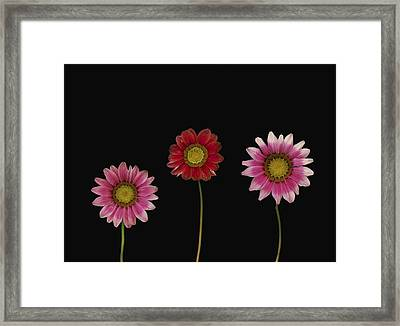 Bright Colorful Daisies Framed Print by Deddeda