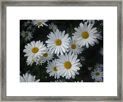 Bright Eyed Daisys Framed Print by Cheryl Perin