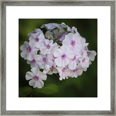 Bright Eyed Phlox Squared Framed Print