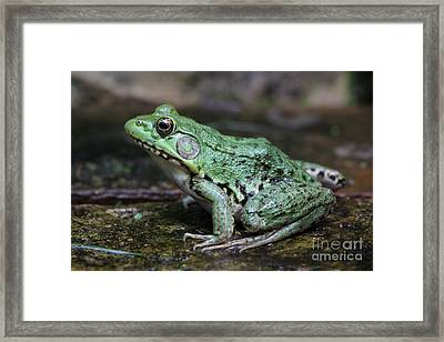 Bright Green Bullfrog Framed Print by Chris Hill