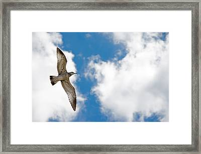 Bright Gull Framed Print by Kelly Anderson