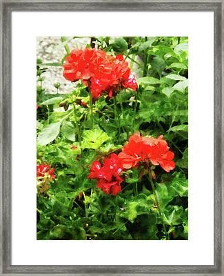 Bright Red Geraniums Framed Print