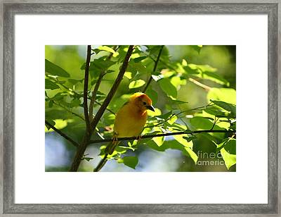 Bright Yellow Songbird Framed Print by Christina A Pacillo
