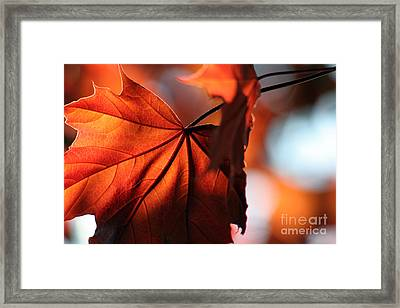 Brilliant Bronze Maple Leaf Framed Print by Chris Hill