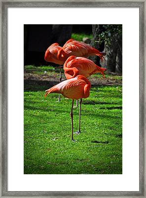 Brilliant Flamingos Framed Print by Mary Machare