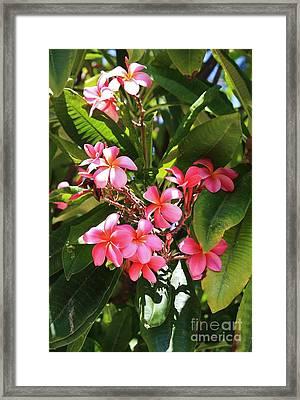 Brilliant Pink Plumaria Framed Print by Craig Wood