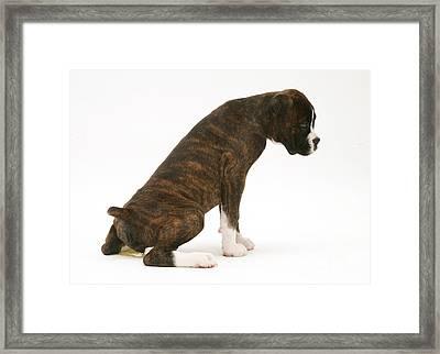 Brindle Boxer Pup Urinating Framed Print by Jane Burton
