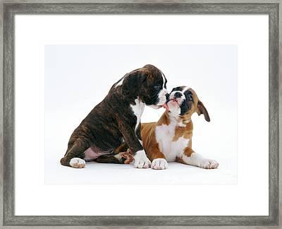 Brindle Boxer Pups Framed Print by Jane Burton