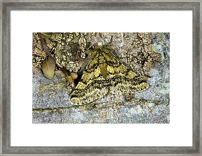 Brindled Beauty Butterfly Framed Print by Dr Keith Wheeler