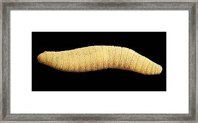 Bristle Worm Framed Print by Alexander Semenov