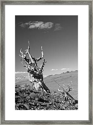 Bristlecone Pine And Cloud Framed Print
