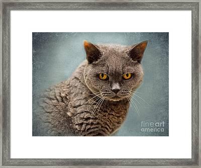 British Blue Shorthaired Cat Framed Print