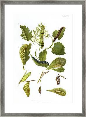 British Butterfly Larvae, 1897 Framed Print by Maria Platt-evans