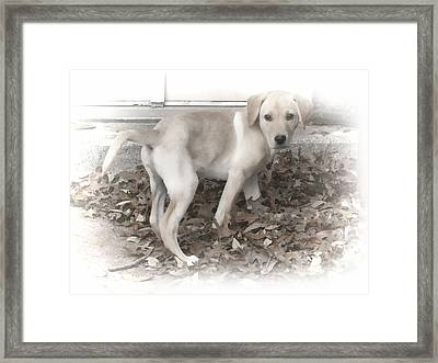 British Labrador In Natural Tones Framed Print by Linda Phelps