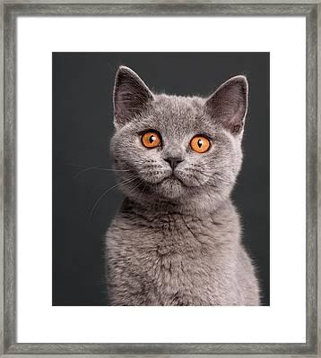 British Shorthair Kitten (3 Months Old) Framed Print by Life On White