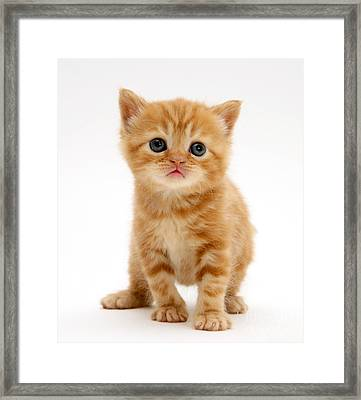British Shorthair Red Tabby Kitten Framed Print by Jane Burton