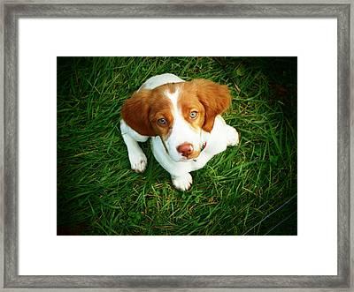 Brittany Spaniel Puppy Framed Print by Meredith Winn Photography