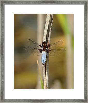 Broad Bodied Chaser Framed Print by Paul Scoullar