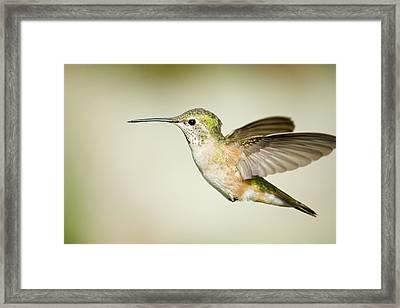 Broadtailedhummingbird Framed Print by Jon Eichelberger