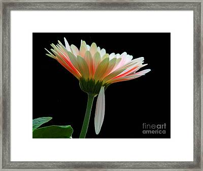 Framed Print featuring the photograph Broken Daisy by Cindy Manero