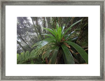 Bromeliad And Tree Ferns Colombia Framed Print by Cyril Ruoso