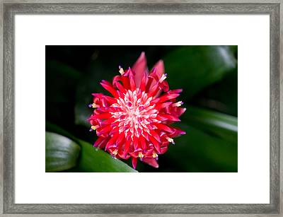 Bromeliad Bloom Framed Print by Rich Franco