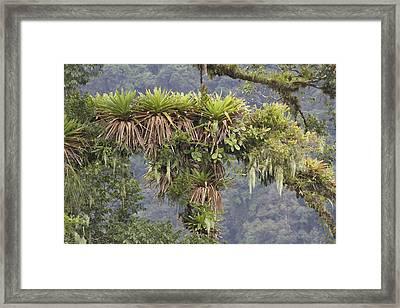 Bromeliad On A Rainforest Tree Costa Framed Print by Piotr Naskrecki
