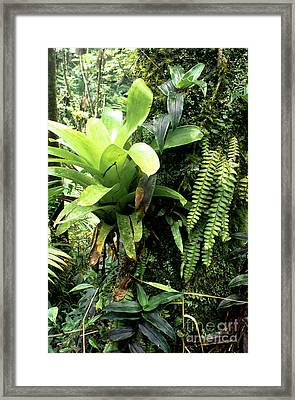 Bromeliad On Tree Trunk El Yunque National Forest Framed Print by Thomas R Fletcher