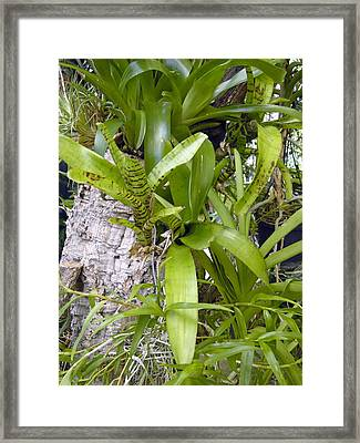 Bromeliad Plants Framed Print by Tony Craddock