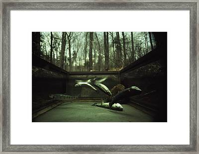 Brook Trout Confined In A Wire Cage Framed Print by Ted Spiegel