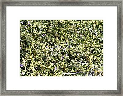 Broom (carmichaelia Fieldii) Framed Print by Adrian Thomas