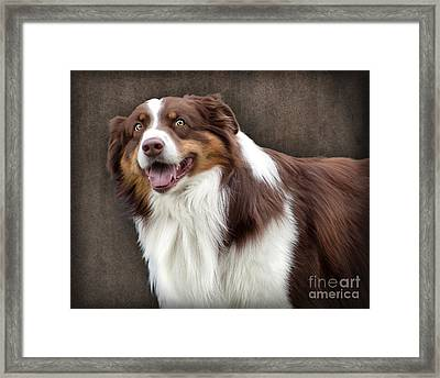 Brown And White Border Collie Dog Framed Print